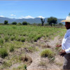 Tamaulipas produce orégano de calidad