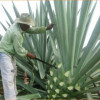 Promueve Tamaulipas industrialización del tequila