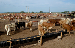 Ocupa Tamaulipas primeros lugares en exportación de ganado bovino