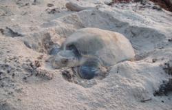 Permanece programa de conservación de tortuga Lora