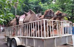 Entra en vigor ley que prohibe animales en circos