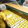 Ocupa Tamaulipas primer lugar nacional en producción de limón italiano