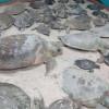 Dan protección a 120 tortugas en riesgo de morir por frío