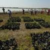 Para mitigar cambio climático intensifican plantación de manglares