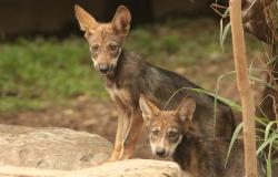 Nacen 6 crías de lobo gris mexicano en zoológico Tamatán.