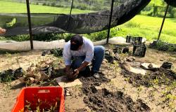 Reforesta Gobierno de Tamaulipas 4 mil 500 plántulas de mangle.